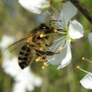 La flore mellifère, un véritable garde-manger pour nos amies les abeilles !