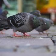 Ni pain ni graines aux pigeons !