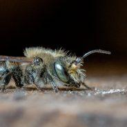 Les abeilles solitaires : des êtres précieux pour la nature