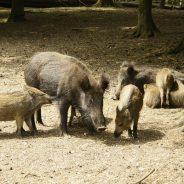 Pourquoi le nourrissage artificiel (sauvage) du sanglier est interdit dans les forêts péri-urbaines de Seraing ?