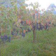 Vendanges exceptionnelles au vignoble du CREPSE à SERAING