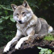 Présence sporadique du loup en Wallonie