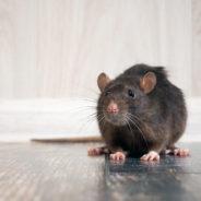 Augmentation de rats sur le territoire: la Ville organise une nouvelle campagne de dératisation