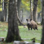 Pourquoi le nourrissage artificiel (sauvage) du sanglier est interdit dans les forêts péri-urbaines de Seraing?