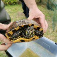Seraing mène une action de sauvetage pour les animaux présents à l'étang du parc des Roselières