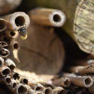 Les abeilles solitaires