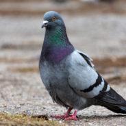De la nourriture contraceptive réversible pour lutter contre l'invasion des pigeons
