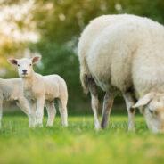 L'abattage d'animaux de type ovin au domicile est dorénavant interdit toute l'année à Seraing